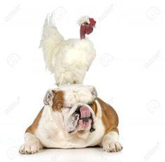 Cute Bulldog gets a chicken back-scratch! – Four Paw