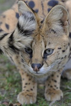 Serval Tail by Josef Gelernter Source: porcvpine Big House Cats, Big Cats, Cats And Kittens, Cute Cats, Beautiful Cats, Animals Beautiful, Savanna Cat, Grand Chat, Animals And Pets