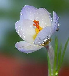 Crocus flower is a powerful symbol of being open to capture the goodness of all that surrounds us and is available to us. can Bloom through snow Exotic Flowers, Amazing Flowers, My Flower, White Flowers, Beautiful Flowers, Flowers Pics, Poppy Flowers, Dew Drops, Rain Drops
