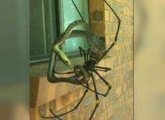 Australie - Une araignée mangeuse de serpents