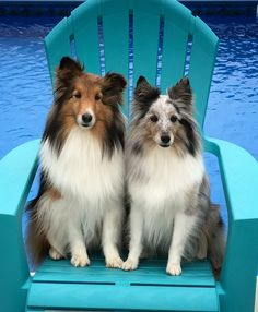 """Lexi and Gracie """"sheepdogs"""""""