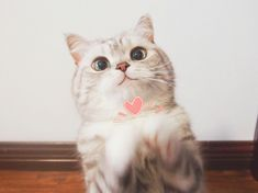 Cute Baby Cats, Cute Kittens, Cute Baby Animals, Cats And Kittens, Cute Babies, Siamese Cats, Cute Cat Memes, Cute Cat Wallpaper, Cats Diy