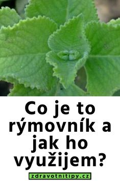 Co je to rýmovník a jak ho využijeme? Cantaloupe, Detox, Plant Leaves, Homemade, Fruit, Health, Plants, Food, Medicine