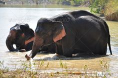 Elephants by MaZiKab. Elephants are the largest living land animals on Earth today.