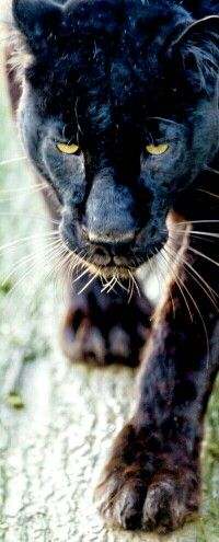 Black Jaguar, in danger without your help…