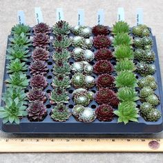 """Our beautiful sempervivum succulent plugs are perfect for almost any occasion! They can be used as low water-using ground cover in warmer areas, in pots of all kinds, as house plants, as wedding favors, to """"paint"""" living pictures on green walls, terrarium building, and much more! We"""