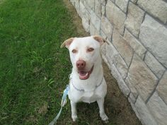 Lovables: OTTAWA, KS DAGWOOD IS A VERY WELL TRAINED BOY, HE IS ABOUT 2 1/2 YRS OLD, HE IS A PEOPLE PLEASER .All puppies and dogs are up to date on all of their vaccines. Any animal leaving the shelter will be neutered or spayed before their adoption day. Any dog that is...