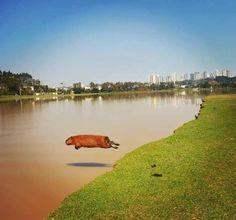 Capybara, mid-flight
