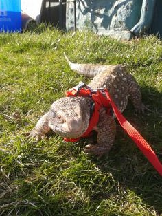 Finally a nice day after this winter, marley the savannah monitor goes out for a walk ♥