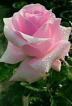 Экзотические Цветы, Красивые Цветы, Цветок Кактуса, Розовые Цветы, Розовые Деревья, Красные Розы, Посадка Цветов, Фиолетовые Розы, Розовые Цветы