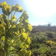 Daggtöreln lyser i solskenet och sprider en lukt av kaffesump.  The Euphorbia caracias is glowing in the sun and sends a smell of used coffee grounds.  #slottsträdgården #malmö #euphorbia #daggtörel #yhenköping #trädgård #garden by bodil.asberg