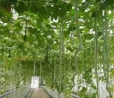 trichosanthes - Pesquisa Google