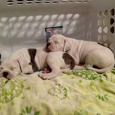 Brotherly love  american bulldog puppies