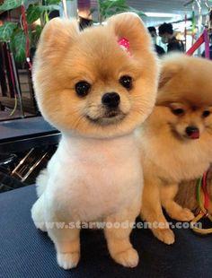 Cutest Pomeranian Dog grooming