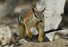 Bridled nail-tail wallaby - Google Search