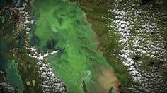 De Paul Kemp (Canada 2010) Desde hace mas de un siglo decenas de miles de turistas disfrutan de las aguas y las playas de arena fina del lago Winnipeg en Canada. Pero desde los anos 1990 el lago esta invadido por un alga verde que prolifera de manera anormal mas que en cualquier otra parte del planeta.