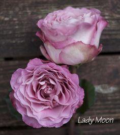 lavender dusty pink garden rose