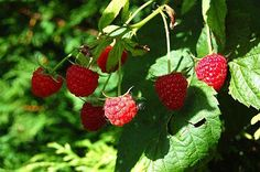 Raspberries on the Cane -- When to Move Raspberry Plants