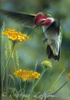 hummingbirds in washington - Google Search