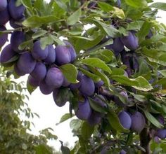 PLUM Brooks - An Italian prune,