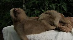 Sloth falls off table - Nature's Miracle Orphans: Episode 1 - BBC One