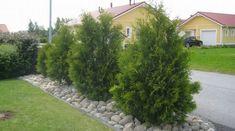 Tuija - tutustu eri lajikkeisiin Garden Inspiration, Outdoor Gardens, Sidewalk, Plants, Gardening, Google, Diy, Bricolage, Gardens