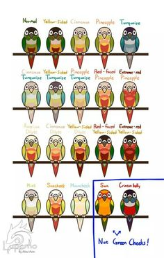 Different types of Green Cheek Conures. - Justice is a Yellow Sided Turquoise Green Cheek.