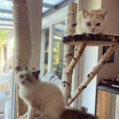Zo schattig! Deze 2 kittens op een boomstam krabpaal. www.decoratietakken.nl Kittens, Cats, Animals, Cute Kittens, Gatos, Animales, Animaux, Kitty Cats, Animal