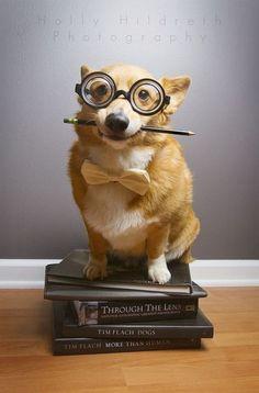 why, hello, I'm Professor Corgi!
