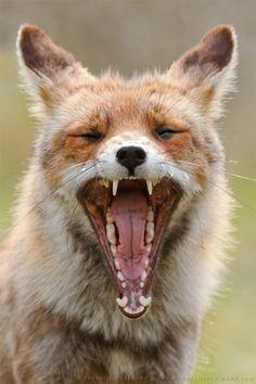 Fox yawns http://www.huffingtonpost.com/roeselien-raimond/fox-yawns_b_5677700.html