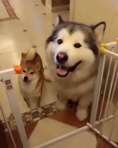 Alaskan Malamute Vs Siberian Husky: What's The Difference - All Huskies - Puppies Cute Little Animals, Cute Funny Animals, Funny Dogs, Cute Cats, Cute Husky, Husky Mix, Husky Puppy, Cute Animal Videos, Cute Creatures