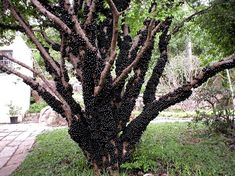Jabuticabeira Produzindo - Blog Multiflora