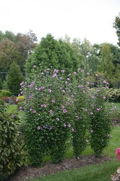 Purple Pillar® - Rose of Sharon - Hibiscus syriacus Privacy + blooms? It must be a Rose of Sharon! Hibiscus Garden, Hibiscus Plant, Pink Garden, Dream Garden, Lawn And Garden, Landscaping Along Fence, Backyard Landscaping, Landscaping Ideas, Backyard Ideas