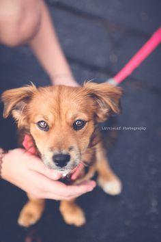 Sadie, Sadie, Pretty Lady.  Copyright Karen Lifshey/LittleLif Photography Sadie, Pretty Woman, Corgi, Puppies, Photography, Animals, Photograph, Animaux, Photography Business