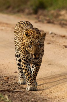 How's this for an outstanding leopard shot from Londolozi