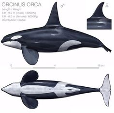 Orca Tattoo, Whale Tattoos, Killer Whale Tattoo, Killer Whales, Tilikum Orca, Animals And Pets, Cute Animals, Strange Animals, Whale Drawing