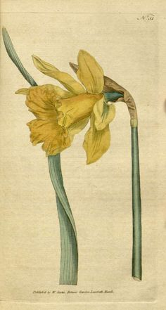 Narcissus pseudonarcissus L. [as Narcissus major Curtis]    Botanical Magazine, vol. 2: t. 51 (1788) [n.a.]