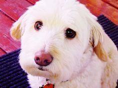 Maxwell the Dog Dogs, Animals, Animales, Animaux, Doggies, Animal, Animais, Dieren, Pet Dogs