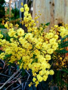 This wattle blossomed in May. It's not supposed to until August. This is in my backyard.
