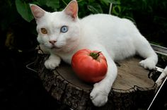 Fukumaru and tomato