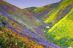 California wild flowers.