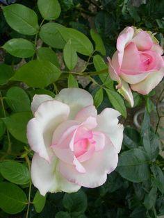 Optimist rose, Hybrid Tea rose. France, Gaujard 2006