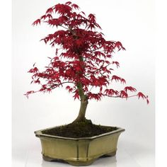 1000 images about bonzai ikebana on pinterest bonsai ikebana and bonsai trees