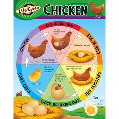 "Learn about the life cycle stages of the chicken. Back of chart features reproducible sheets, activities, and helpful teaching tips. 17"" x 22"" classroom size."