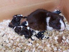 Guinea pig sows can be prone to a host of illnesses and problems during her pregnancy. If you are looking to breed your piggies, one of the essential things to do is to read up on what is to come!