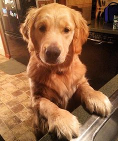 Golden retriever puppy 10 months old Online Pet Supplies, Dog Supplies, Animals For Kids, Cute Animals, Old Golden Retriever, Golden Retrievers, Choosing A Dog, Group Of Dogs, Animals