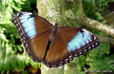 Morpho peleides marinita, Costa Rica. Florida Museum of Natural History Lepidoptera Image Gallery, Alan Chin-Lee, photographer.