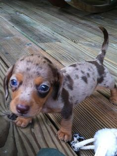 Miniture Dapple Dachshund...he wants to come live with us he told me so<3