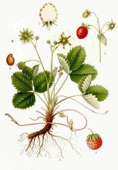 Liečivé bylinky a rastliny - herbár - Jahoda obyčajná