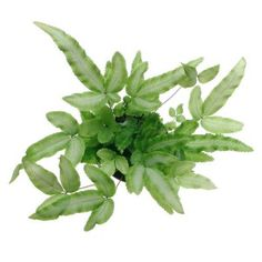 phlebodium aureum mandaianum blue star or bear 39 s paw fern plants inside pinterest plantes. Black Bedroom Furniture Sets. Home Design Ideas